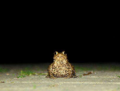 Kröten wandern viel zu früh